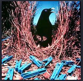 bower-bird